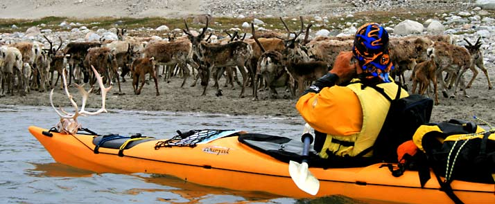 kayaking in greenland-caribous